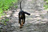 狩猟犬 — ストック写真