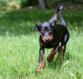 Coonhound running — Stock Photo