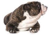 Bulldog inglés — Foto de Stock