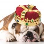Dog wearing crown — Stock Photo #49009049