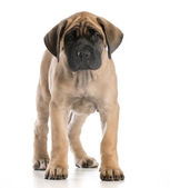 English mastiff puppy — Stock Photo