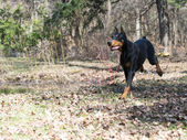 Doberman running — Foto Stock