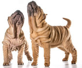 Chinese shar pei puppies — Stock Photo