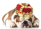 Dog wearing crown — Stock Photo