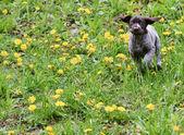 Puppy running — Stock Photo