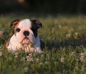 Puppy eating grass — Stock Photo