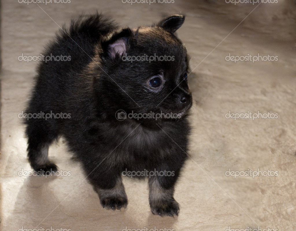 Cute Black Pomeranian Puppy Pictures Cute little pomeranian puppyCute Black Pomeranian Puppy Pictures