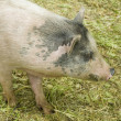 Furry spotted pig — Stock Photo