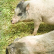 Two pigs — Stock fotografie #15768221