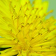 Zoomed yellow dandelion flower — Stock Photo #15769111