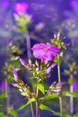 Magic blossoming flowers of perfect violet phlox — Stock Photo
