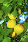 Juicy apricots ripening on a branch with green leaves — Stock Photo