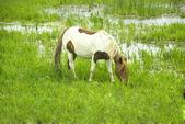 Vit ponny — Stockfoto