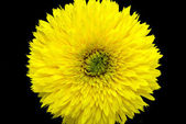 Yellow decorative sunflower — Stock Photo
