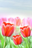 Many beautiful tulips — Stock Photo