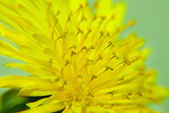 Zoomed yellow dandelion flower — Stock Photo