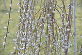 Spring pussy-willow — Stock Photo