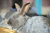Sleepy rabbit — Stock Photo
