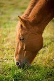 A horse grazes — Stock Photo