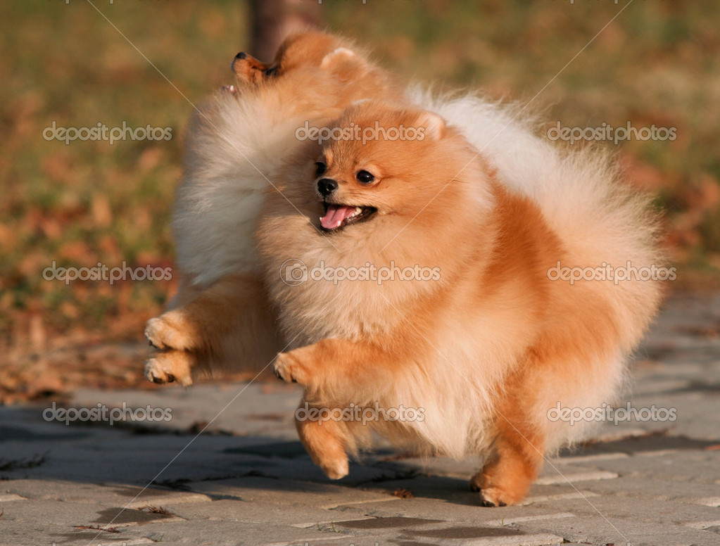Two Pomeranian playing in the park — Stock Photo #15289175