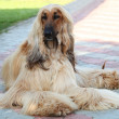 Portrait of the purebred dog breed Afghan Hound — Stock Photo #15417339