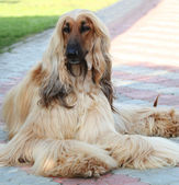 Portrait of the purebred dog breed Afghan Hound — Stock Photo