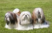 Portrait of three purebred Lhasa Apso on green grass — Stock Photo