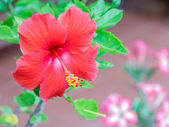 The hibiscus red color for design or decorate project. — Stock Photo