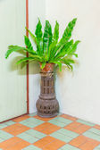 Bird's nest fern for decorate rooms. — Stock Photo