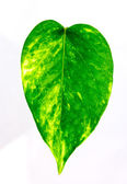 The green color leaves. — Stock Photo