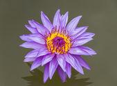The lotus color purple. — Stock Photo