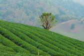 The tea farm. — Stock Photo