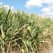 Drought sticken corn — Photo