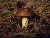 Chestnut mushroom — Stock Photo