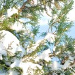 Fur-tree branches in snow — Stockfoto #14207828