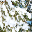 Fur-tree branches in a snow — Foto Stock