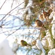 Sparrows on branches - Stock Photo