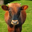 Grazing cow — Stock Photo #14207987