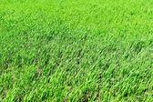 Grama verde — Fotografia Stock