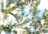 Fur-tree branches in a snow — Stock Photo