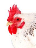 Portrait of white hen — Stock Photo