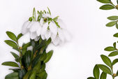 Congratulatory form with snowdrops. — Stock Photo