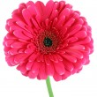 Pink gerbera flower - Stock Photo