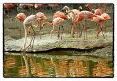 Flamingo with reflection — Foto Stock