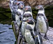 Amigos de pingüino — Foto de Stock