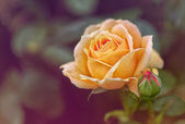 Apricot Rose — Stock Photo
