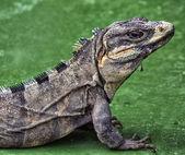 Iguana yakın çekim — Stok fotoğraf