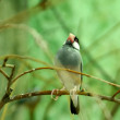 Java Sparrow (Padda Oryzivora) bird standing on the branch - Stock Photo