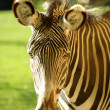 Wild Zebra - Stock Photo