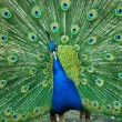 Spread of a peacock - Stock Photo